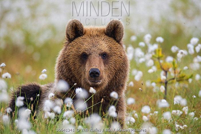 Brown Bear (Ursus arctos) male in meadow, Finland