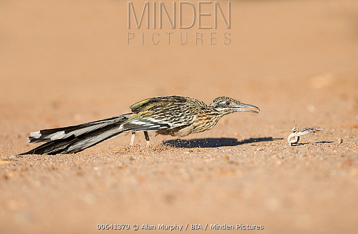 Greater Roadrunner (Geococcyx californianus) hunting lizard, Arizona