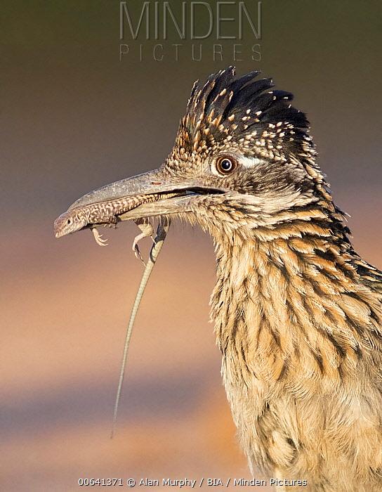 Greater Roadrunner (Geococcyx californianus) with lizard prey in its beak, Arizona