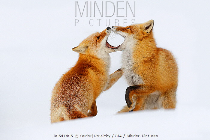 Red Fox (Vulpes vulpes) pair playing in snow, Germany