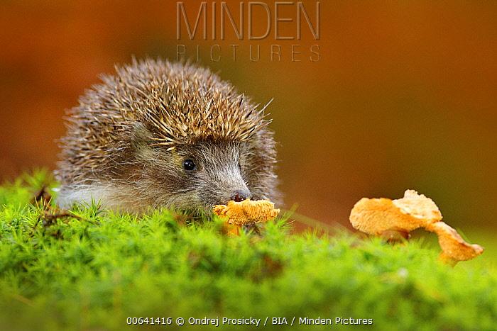 Brown-breasted Hedgehog (Erinaceus europaeus) feeding on mushroom, Germany