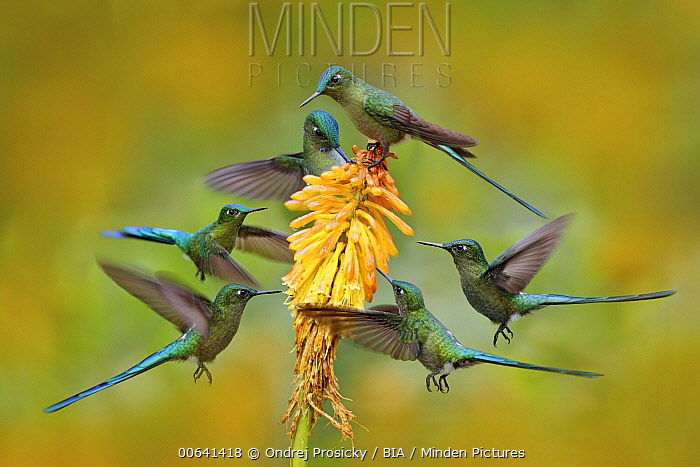 Long-tailed Sylph (Aglaiocercus kingi) hummingbird, composite photograph, feeding on flower nectar, Ecuador
