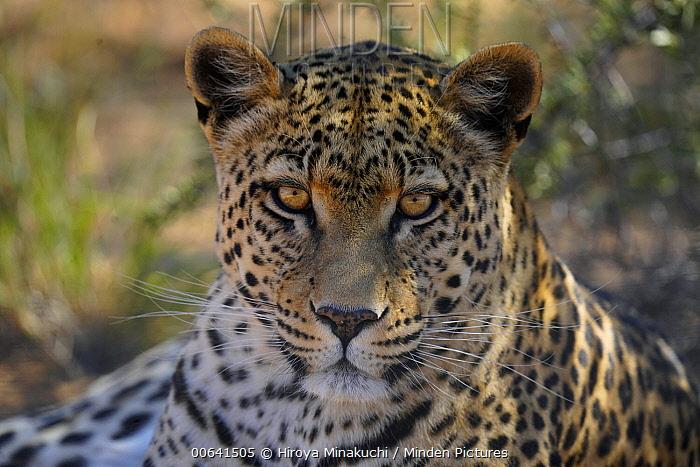 Leopard (Panthera pardus), Etosha National Park, Namibia