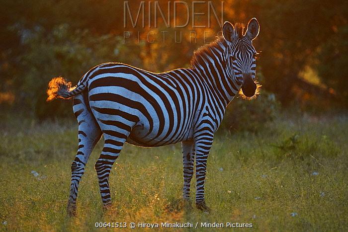 Grant's Zebra (Equus burchellii boehmi), Masai Mara, Kenya