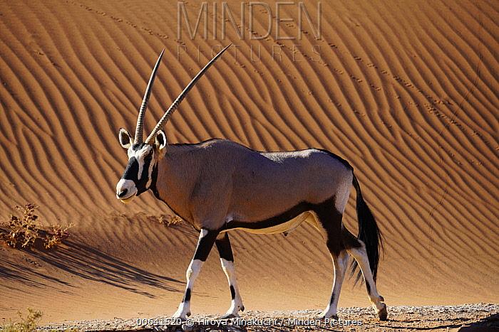 Oryx (Oryx gazella), Namib Desert, Namibia