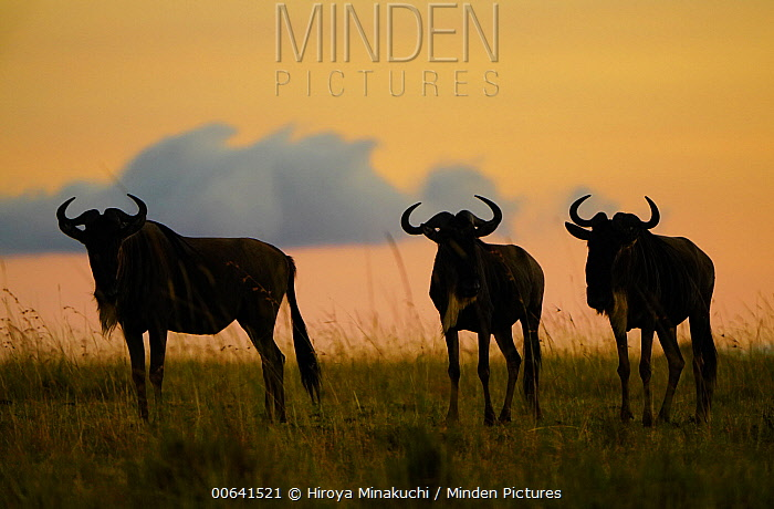 Blue Wildebeest (Connochaetes taurinus) trio at sunset, Masai Mara, Kenya