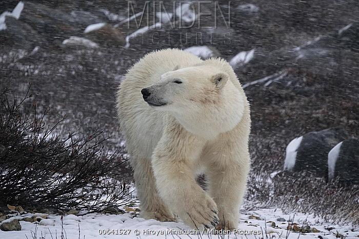 Polar Bear (Ursus maritimus) during snowfall, Churchill, Manitoba, Canada