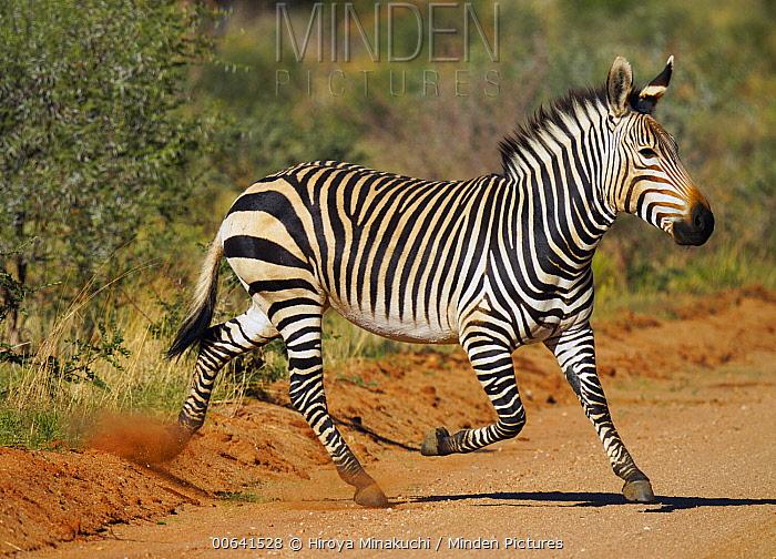 Grant's Zebra (Equus burchellii boehmi) running, Amboseli National Park, Kenya