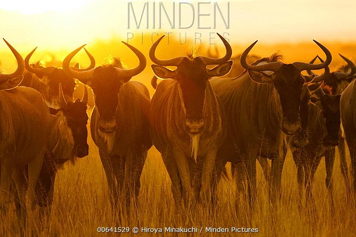 Blue Wildebeest (Connochaetes taurinus) herd at sunrise, Amboseli National Park, Kenya