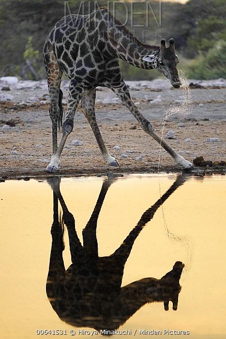 South African Giraffe (Giraffa giraffa giraffa) drinking, Etosha National Park, Namibia