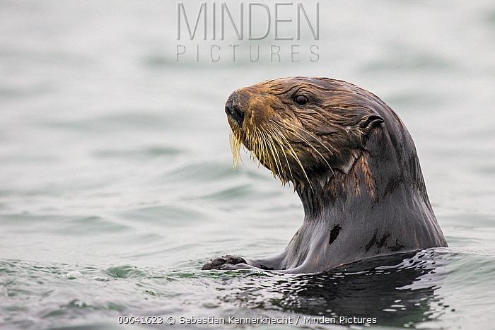 Sea Otter (Enhydra lutris) female, Elkhorn Slough, Monterey Bay, California
