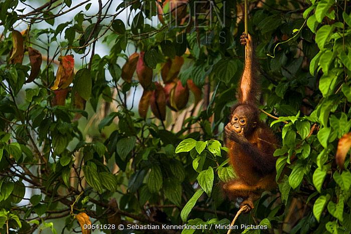 Orangutan (Pongo pygmaeus) young feeding on fruit, Sepilok Forest Reserve, Sabah, Borneo, Malaysia