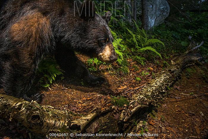 Black Bear (Ursus americanus), Sally's Pond, Notchview, Berkshires, Massachusetts