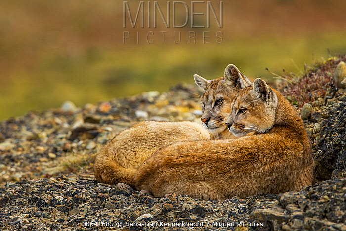 Mountain Lion (Puma concolor) six month old female and male kitten, Torres del Paine National Park, Patagonia, Chile