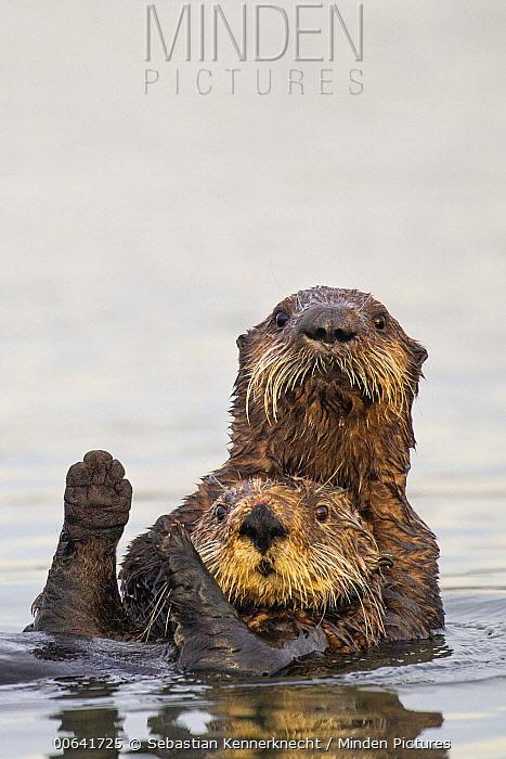 Sea Otter (Enhydra lutris) pup hugging mother, Elkhorn Slough, Monterey Bay, California