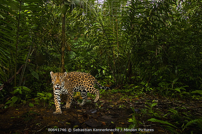 Jaguar (Panthera onca) male in tropical rainforest, Mamoni Valley, Panama
