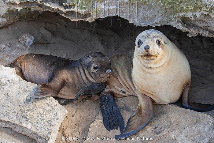 Australian Sea Lion (Neophoca cinerea) mother and pup, Kangaroo Island, Australia
