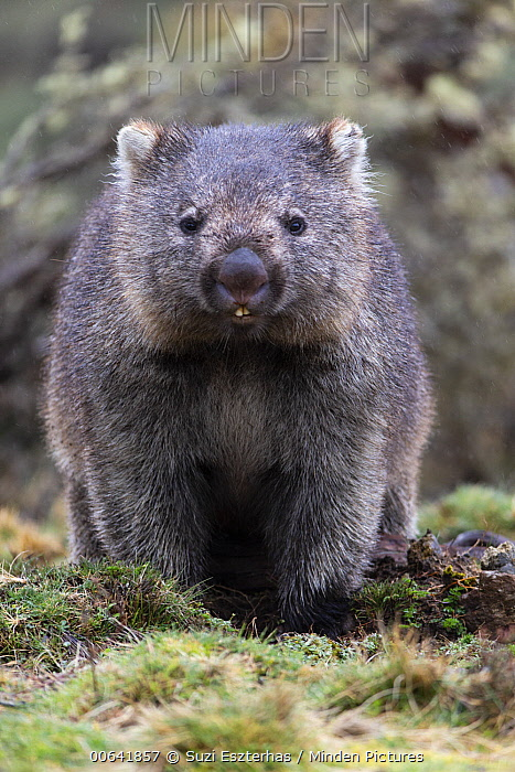 Common Wombat (Vombatus ursinus), Cradle Mountain-Lake Saint Clair National Park, Tasmania, Australia