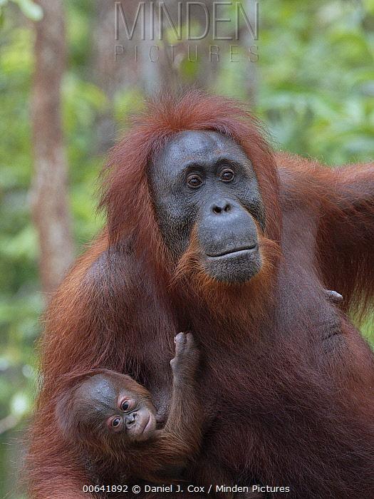Orangutan (Pongo pygmaeus) mother with young, Tanjung Puting National Park, Borneo, Indonesia