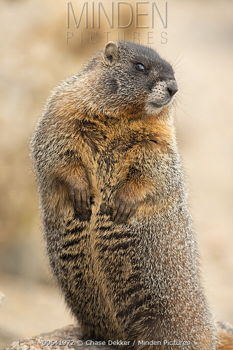 Yellow-bellied Marmot (Marmota flaviventris) on alert, Rocky Mountain National Park, Colorado