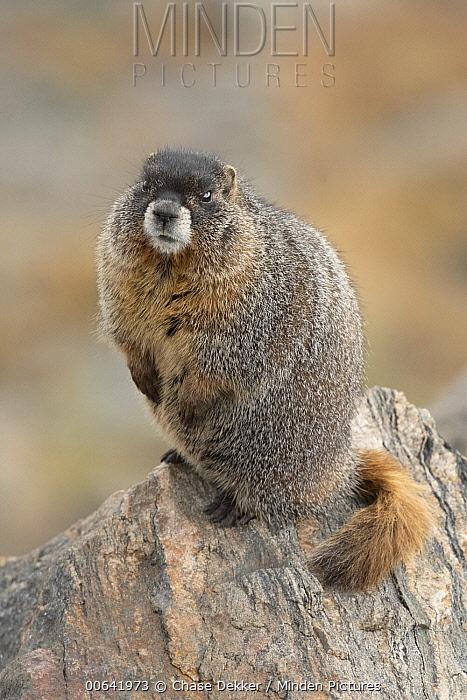 Yellow-bellied Marmot (Marmota flaviventris), Rocky Mountain National Park, Colorado