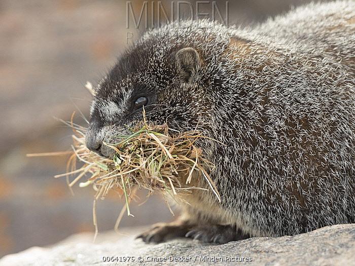 Yellow-bellied Marmot (Marmota flaviventris) collecting grass for winter, Rocky Mountain National Park, Colorado