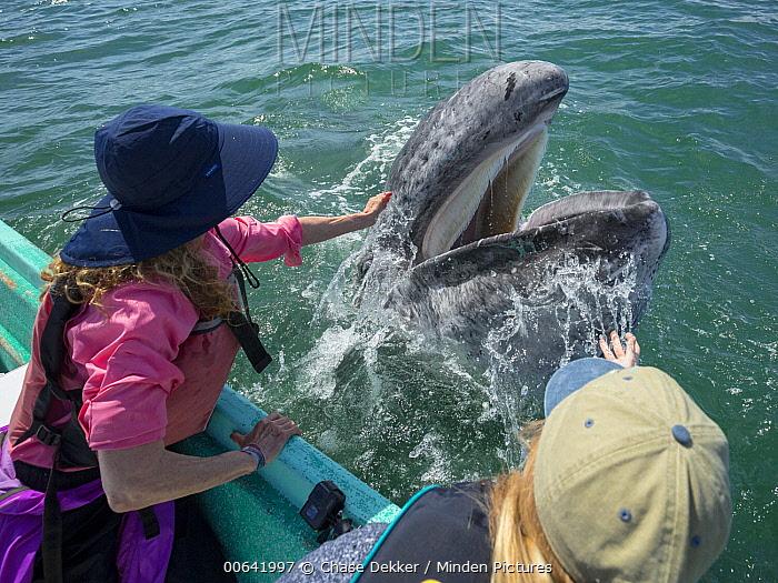 Gray Whale (Eschrichtius robustus) calf being pet by tourist, San Ignacio Lagoon, Baja California, Mexico