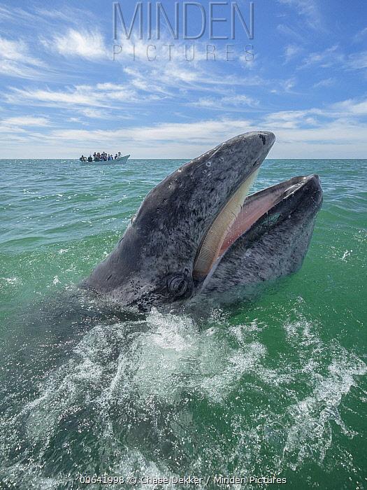 Gray Whale (Eschrichtius robustus) calf playing at surface, San Ignacio Lagoon, Baja California, Mexico