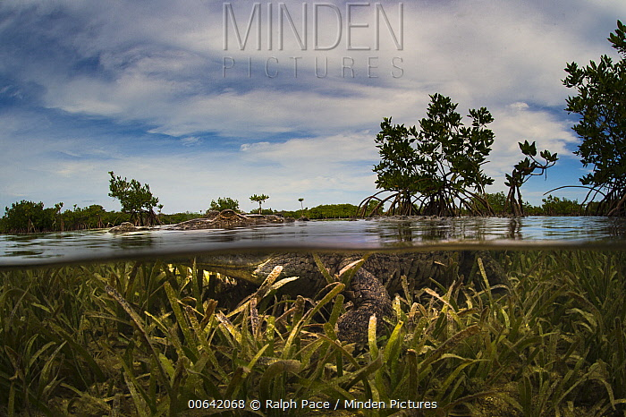 American Crocodile (Crocodylus acutus) in mangroves, Jardines de la Reina National Park, Cuba
