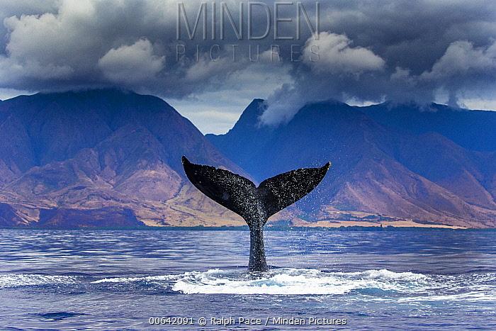 Humpback Whale (Megaptera novaeangliae) tail slapping, Maui, Hawaii