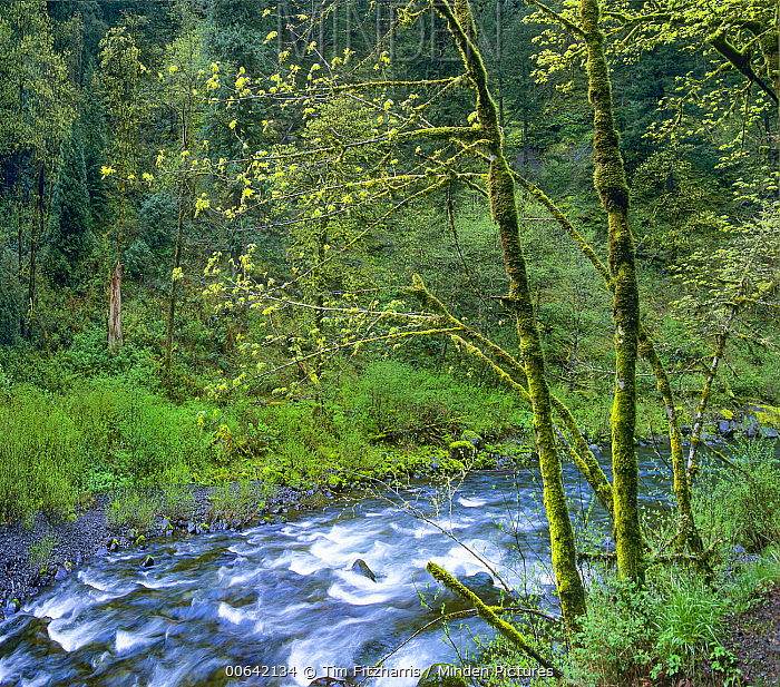 Forest in spring, Eagle Creek, Columbia River Gorge, Oregon