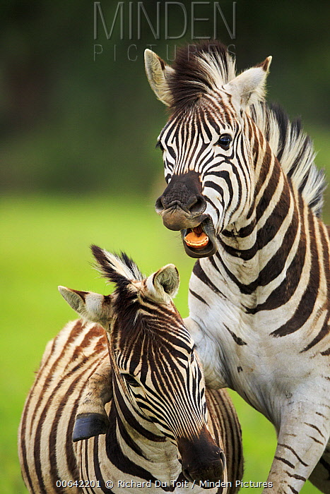Burchell's Zebra (Equus burchellii) males fighting, Rietvlei Nature Reserve, South Africa
