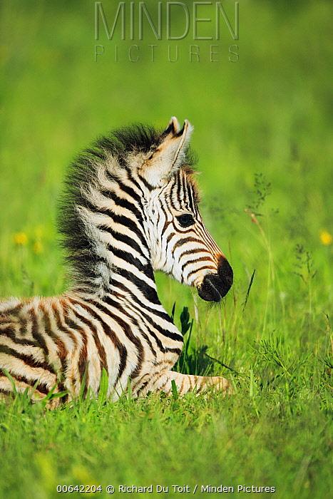 Burchell's Zebra (Equus burchellii) foal, Rietvlei Nature Reserve, South Africa