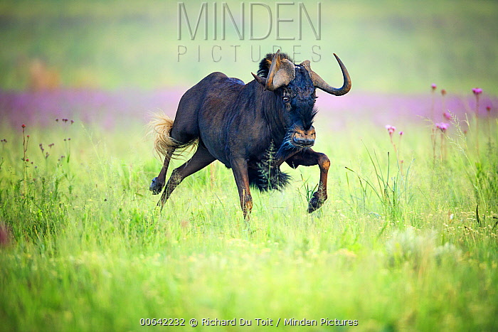 Black Wildebeest (Connochaetes gnou) running, Rietvlei Nature Reserve, South Africa