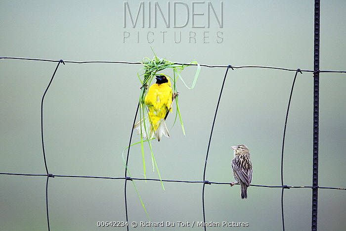 Masked-Weaver (Ploceus velatus) male buiding nest in fence with female watching, South Africa