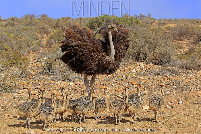 Ostrich (Struthio camelus) mother with chicks, Oudtshoorn, Western Cape, South Africa
