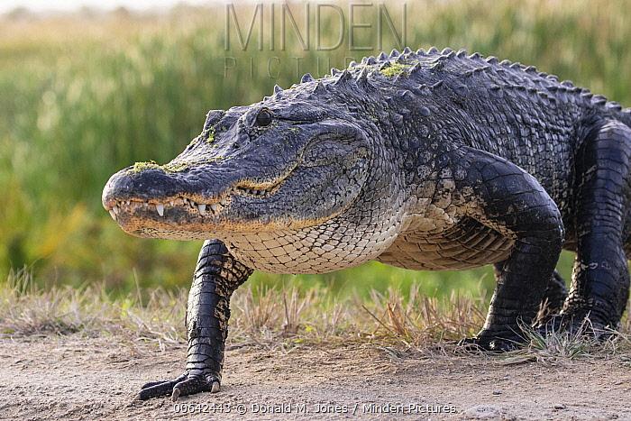 American Alligator (Alligator mississippiensis), Viera Wetlands, Florida