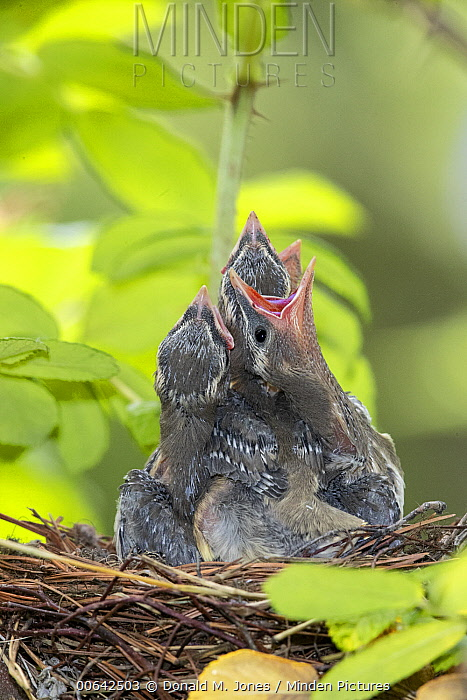 Cedar Waxwing (bombycilla cedrorum) chicks begging in nest, Troy, Montana