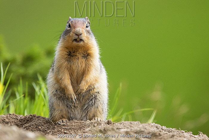Columbian Ground Squirrel (Spermophilus columbianus) on alert, Montana