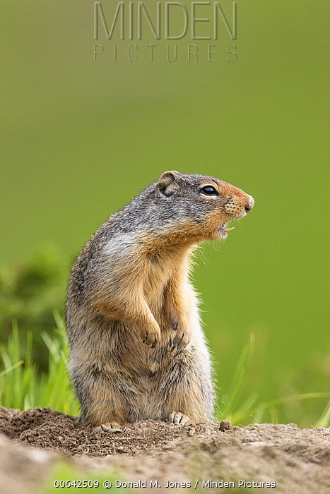 Columbian Ground Squirrel (Spermophilus columbianus) alarm calling, Montana