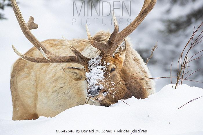 Elk (Cervus elaphus) bull browsing in winter, Yellowstone National Park, Wyoming