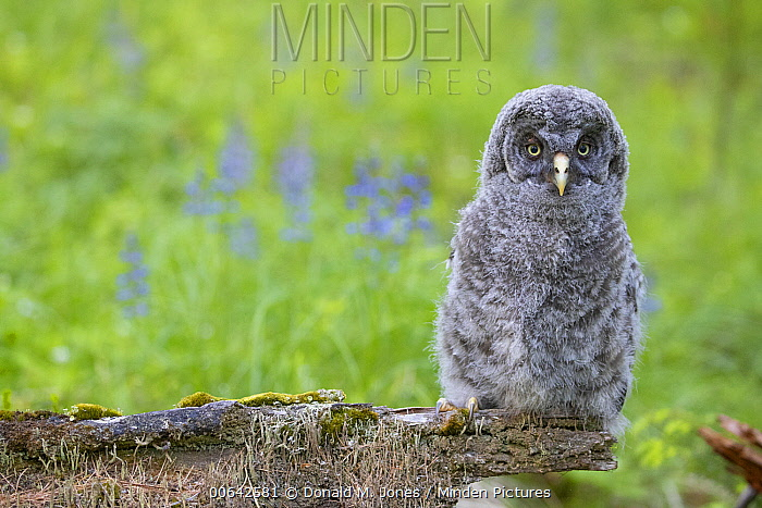Great Gray Owl (Strix nebulosa) chick, Montana