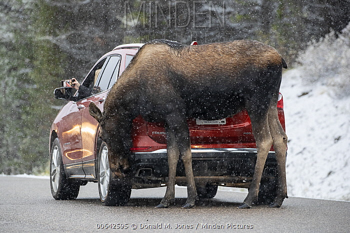 Moose (Alces alces) female licking salt off car, Alberta, Canada