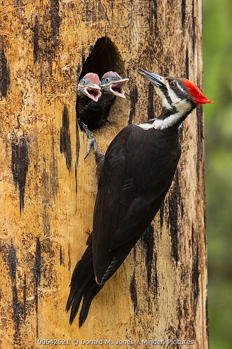Pileated Woodpecker (Dryocopus pileatus) mother at nest cavity with begging chicks, Montana