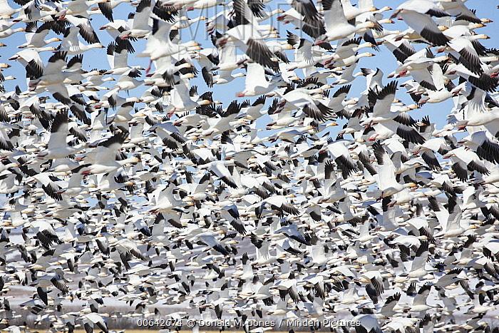 Snow Goose (Chen caerulescens) flock flying, eastern Montana