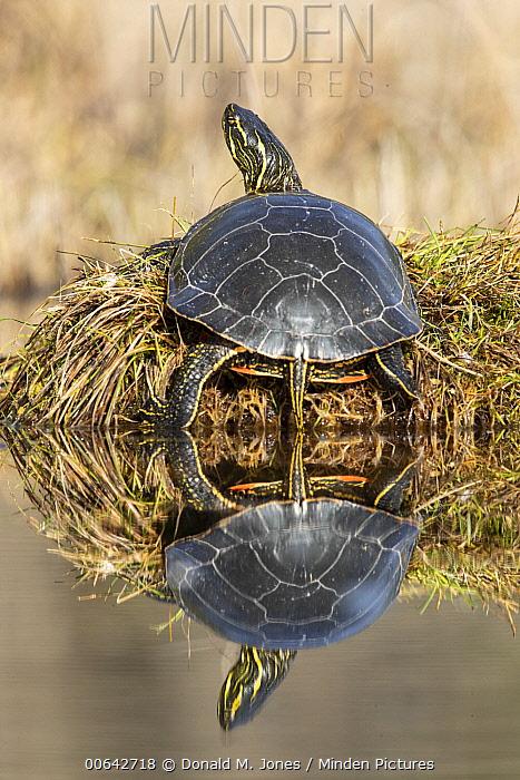 Painted Turtle (Chrysemys picta) basking, Montana