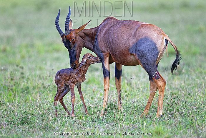 Topi (Damaliscus lunatus) mother cleaning newborn calf, Masai Mara, Kenya