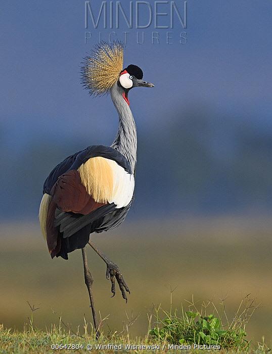 Grey Crowned Crane (Balearica regulorum), Masai Mara, Kenya