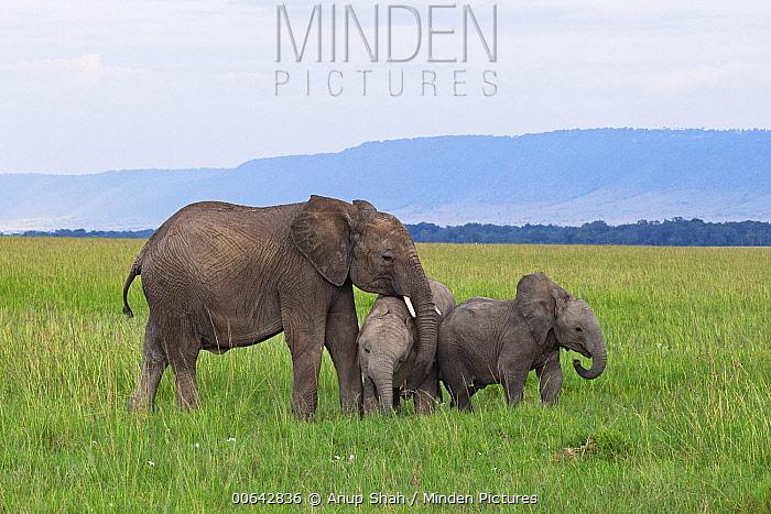 African Elephant (Loxodonta africana) juvenile and calves playing, Masai Mara, Kenya