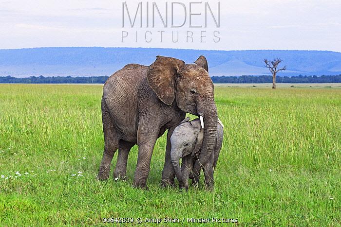 African Elephant (Loxodonta africana) calf and juvenile playing, Masai Mara, Kenya